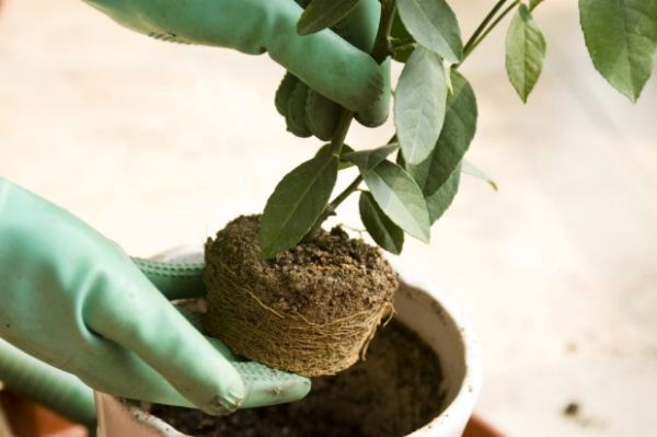Garden Soil Has Its Place But Not In Pots