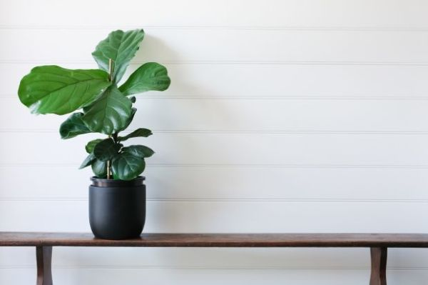 On-trend indoor plants: what's the fiddle-leaf fig of 2018? on indoor wheat plant, indoor creeping fig, indoor tobacco plant, indoor oak plant, indoor willow plant, indoor pistachio plant, indoor avacado plant, indoor thyme plant, indoor holly plant, indoor berry plant, indoor cedar plant, indoor rosemary plant, indoor watermelon plant, indoor sage plant, indoor citrus plant, indoor pumpkin plant, indoor lilac plant, indoor garlic plant, indoor cocoa plant, indoor papaya plant,