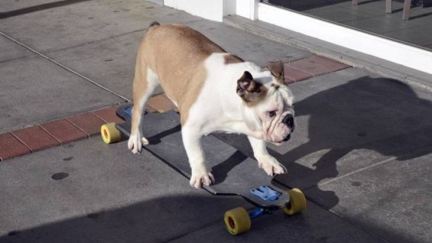 Skateboarding bulldog a Bathurst Real Estate star