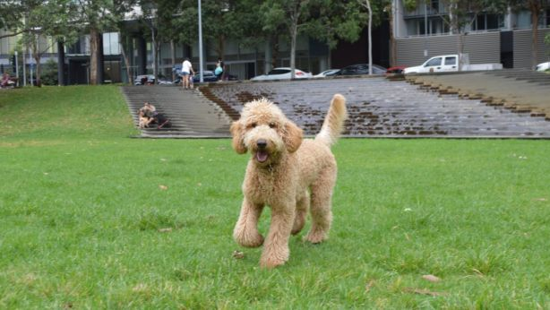 Designer poodle breeds like labradoodles are on the rise. Photo: Daniel Butkovich