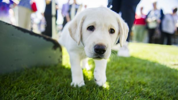 Loveable labradors are a favourite for Sydneysiders. Photo: Rohan Thomson