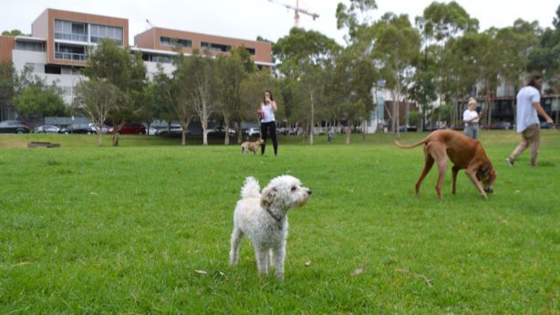 Toy poodles are the most popular breed in Zetland. Photo: Daniel Butkovich