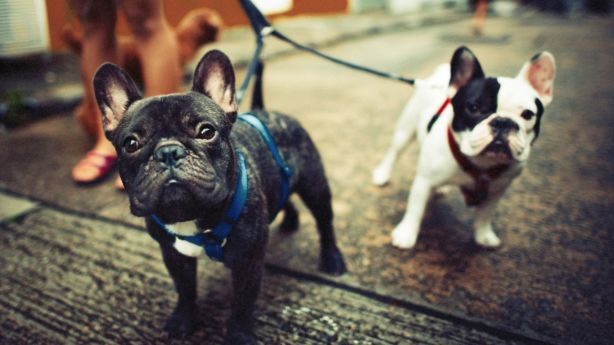 French bulldogs have surged in popularity, mostly in the inner city. Photo: iStock