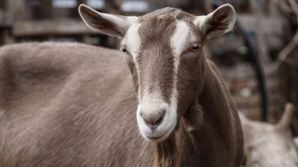 The goats provide Edwin Wise and his family with three litres of milk a day. Photo: Anthony Rodrigeuz