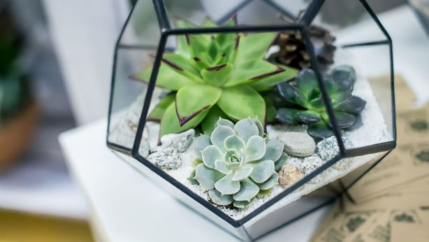 Succulents Are Characterised By Their Ability To Water In Thick Leaves Or Stem