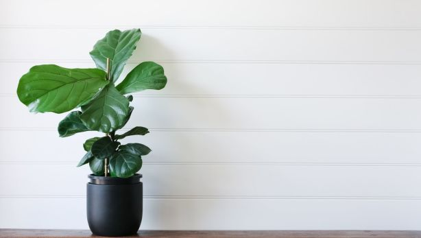 Move over fiddle-leaf fig! There's a new 'it' plant in town. Photo: Stocksy