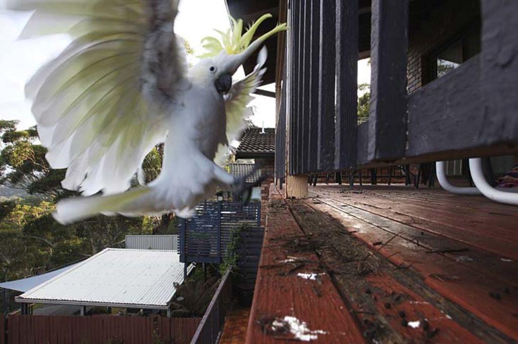 Cocky behaviour ...  a cockatoo prepares to feast on Peter Cross's verandah in Woronora. Photo: Realtor.com