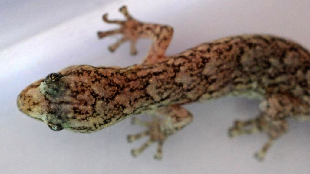 Are you living with a native or introduced species of gecko? Photo: Richard Briggs