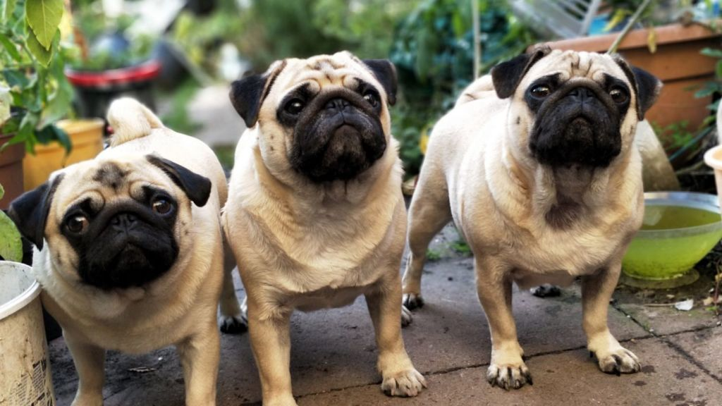 Although they are playful and energetic, pugs don't require a lot of exercise. Photo: iStock