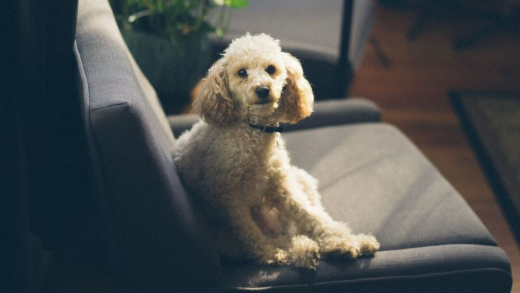 Poodles shed less hair than other breeds.