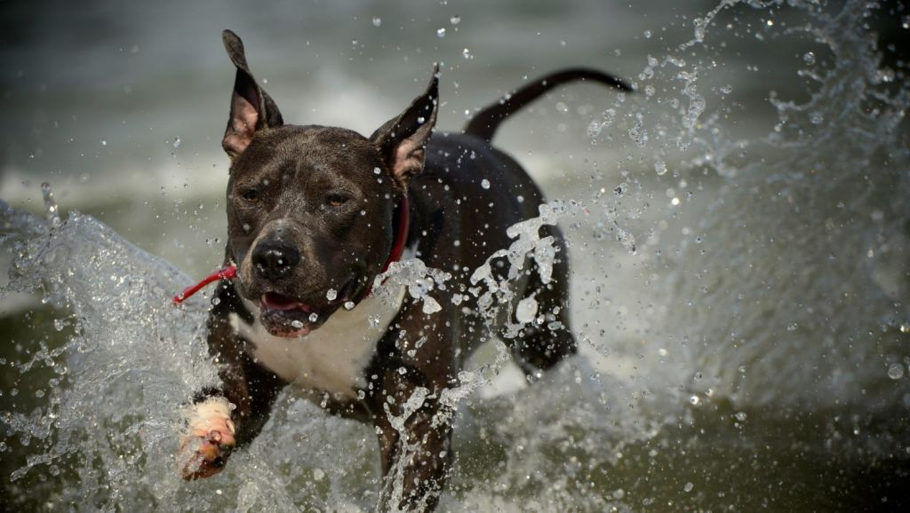 Staffies are the most popular breed in Sydney. Photo: Jason South