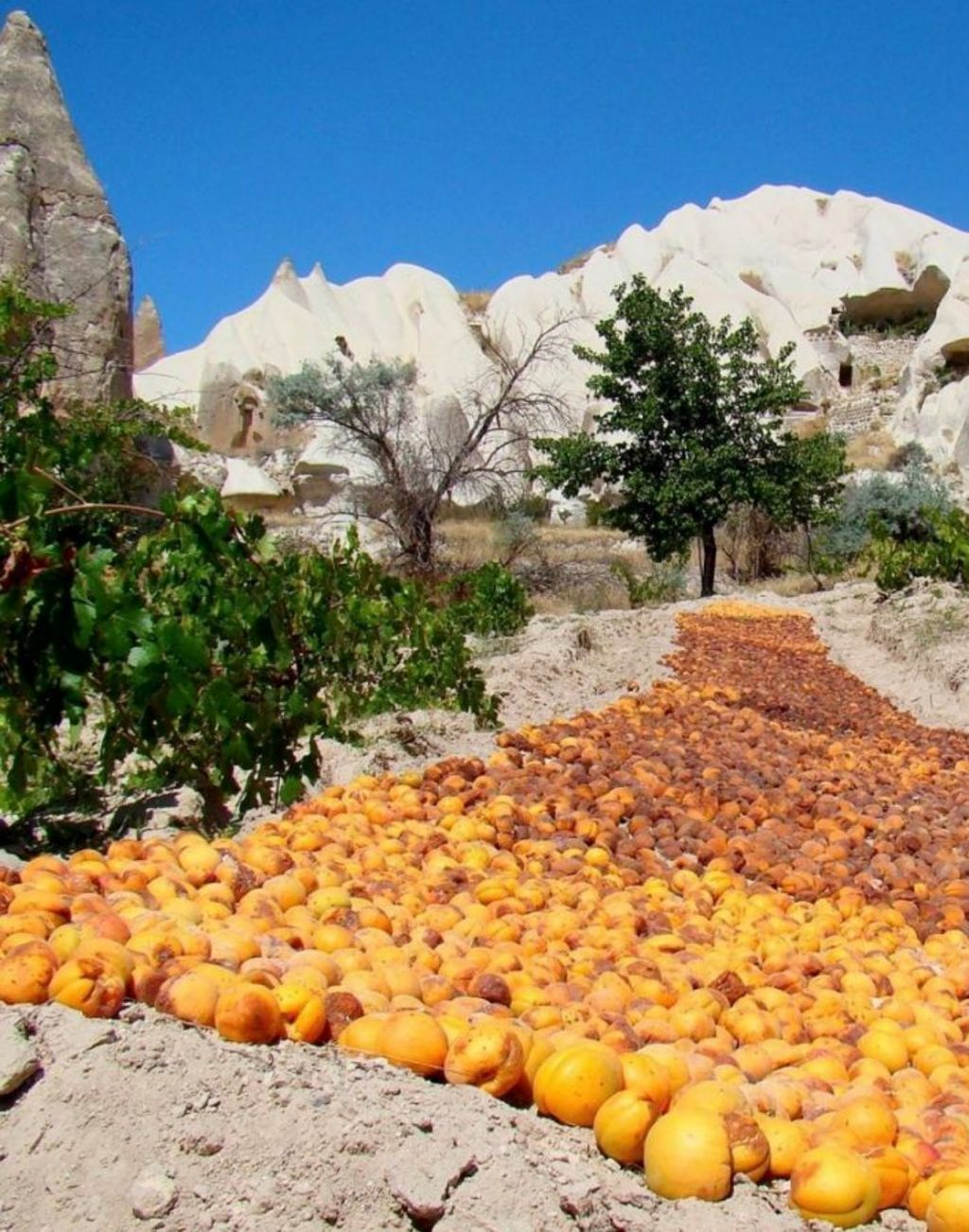 Drying apricots from the valley gardens.