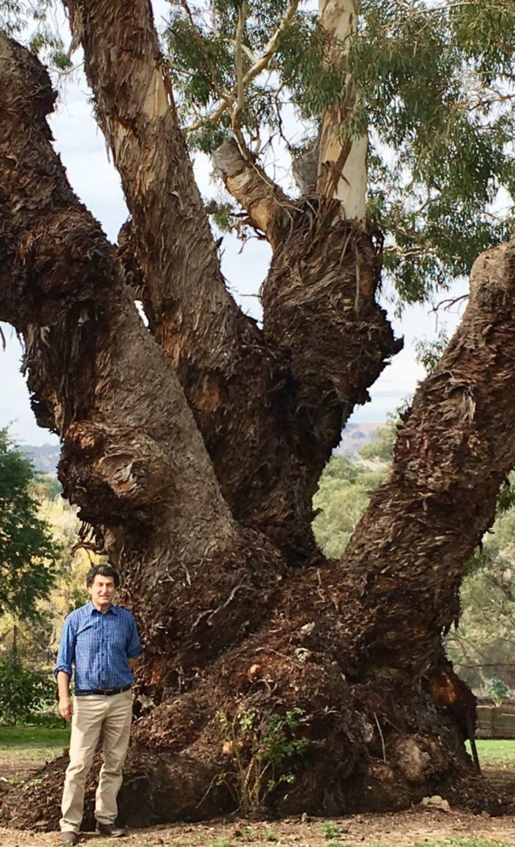 Showing the scale of the ancient Red gums on the Stratford Lodge property, agent Dominic Romeo is dwarfed by a huge specimen. Photo: Jenny Brown