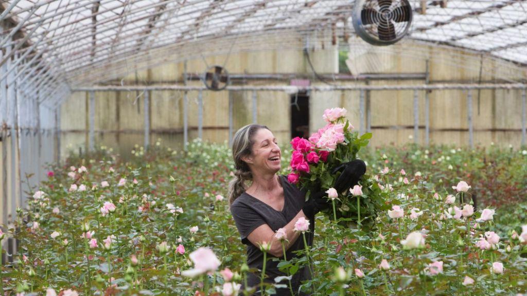 Co-owner Diana Berner picking roses at Dumont Roses at Glenorie. Photo: Quentin Jones