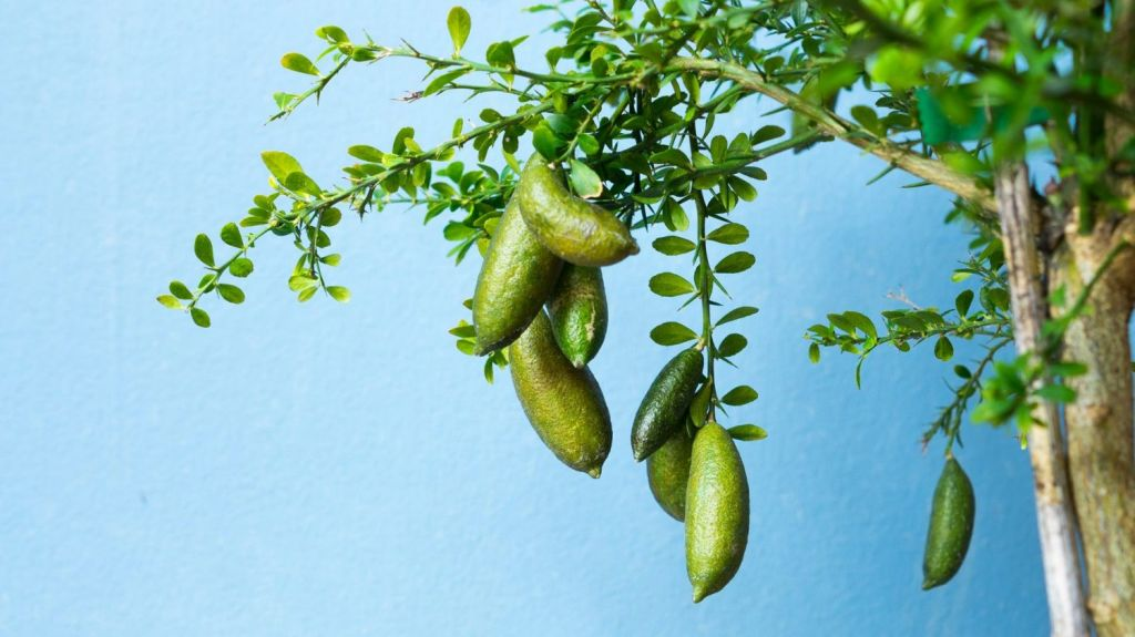 Finger-lime trees are a rainforest tree with a thick, bushy appearance and spiky thorns. Photo: istock