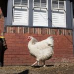 Your neighbour's backyard chickens could kill you