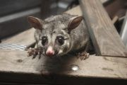The many tried and tested methods I used to get rid of possums in my backyard
