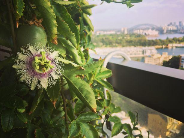 Passionfruit Vine. Photo: Indira Naidoo