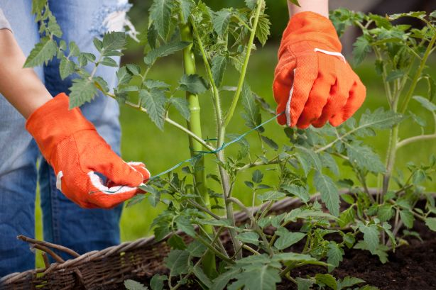 Tomato plants will need to be staked or grown through a frame.