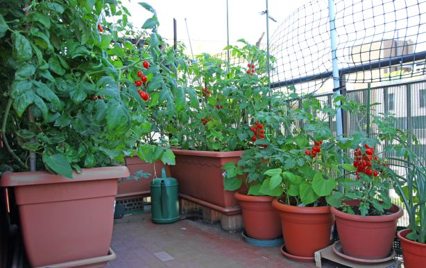 Sunny balconies are ideal for growing vegetables.