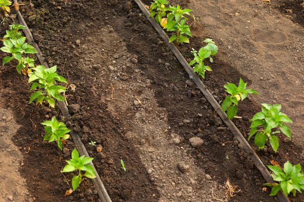 A drip irrigation system directs water to the roots and can be controlled with a timer.