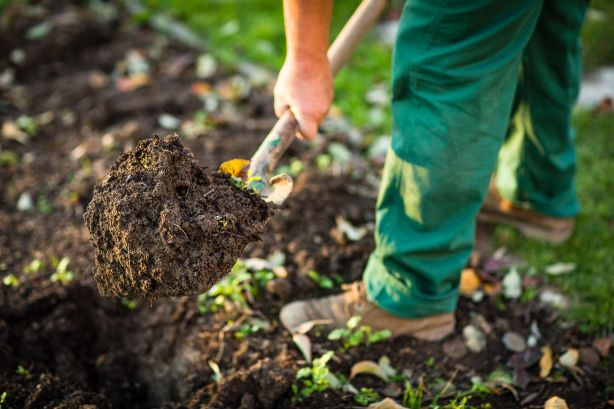 Break up the soil before planting and add in organic material to improve soil fertility.