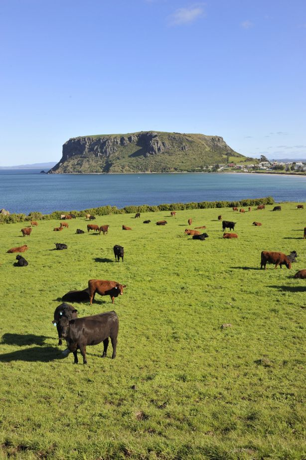 Landscape and ocean with local cliff attraction known as The Nut, with cows in foreground, Stanley, Tasmania, Australia. Photograph by istock. Image can be re-used.Australia, Tasmania, Nature, Rural Scene, Farm, Seascape, Stanley, Photography, Beach, Beauty In Nature, Blue, Cliff