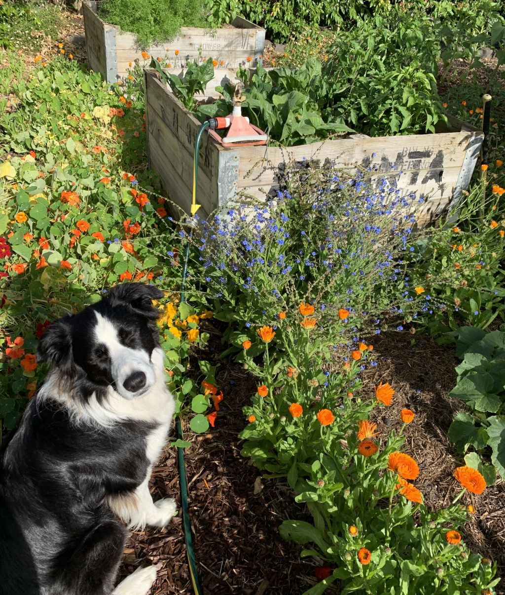 Belong Green Homes_Amy Hunt_Frankston backyard_Dog in garden