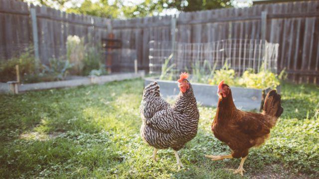 All cooped up: Coronavirus triggers backyard chicken panic buying
