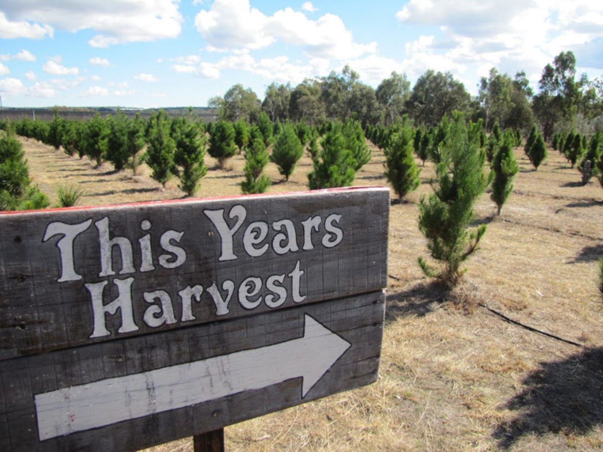 How One Couple Built A Popular Christmas Tree Farm Outside Stanthorpe In Queensland S Wine Country