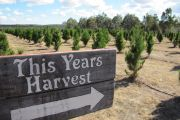 How one couple built a popular Christmas tree farm outside Stanthorpe, in Queensland's wine country