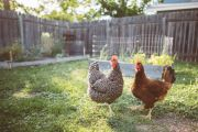 All cooped up: Coronavirus triggers backyard chicken panic buying