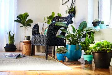 This is the most popular indoor plant in Australia