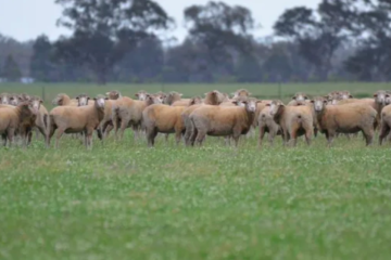 Ellen family quits Wimmera sheep station after 130 years