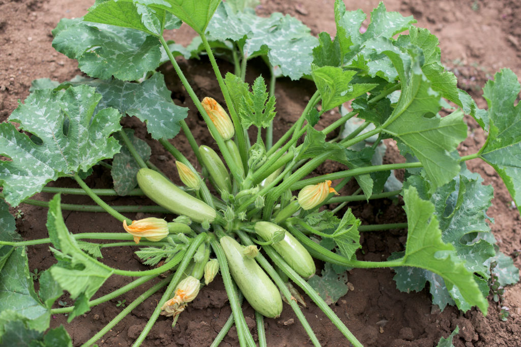 Zucchini plants have a wide, low-growing habit.