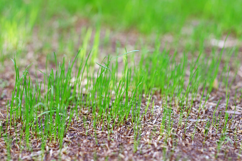 Growing lawn from seed is cheaper, but takes longer.