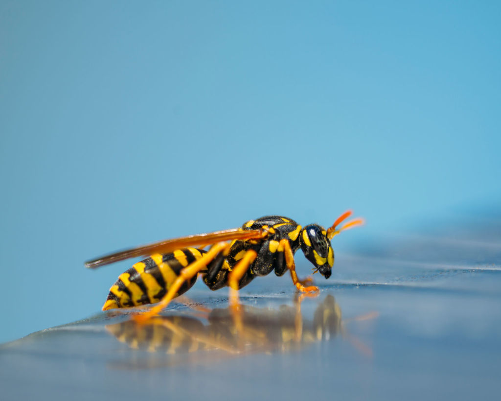 Natural scavengers, wasps love a bit of sweet stuff, so keep your soda, jam, honey and sugar on lockdown.