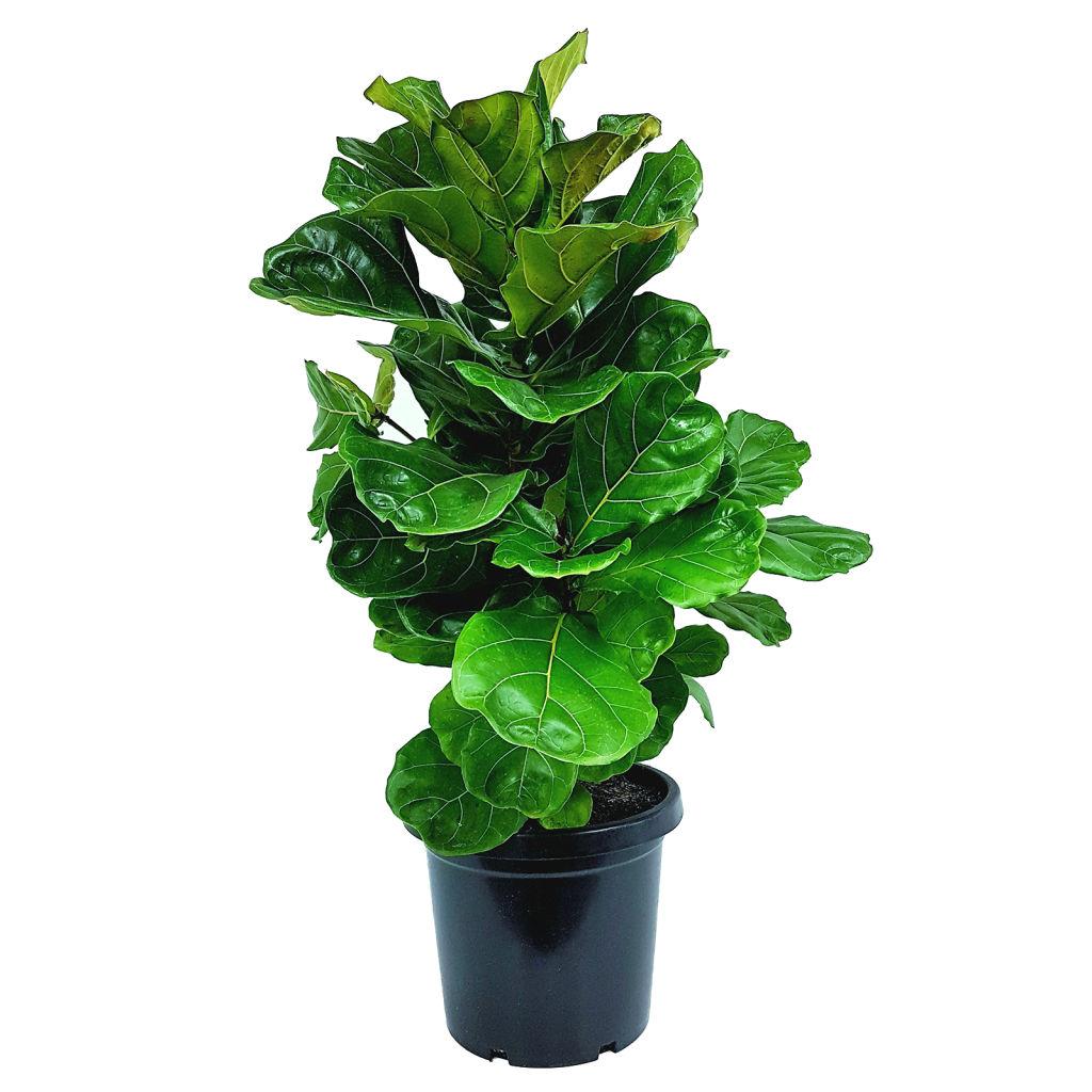 300mm_Fiddle_Leaf_Fig_-_Ficus_lyrata_-_Enliven_Range_nfwz3g