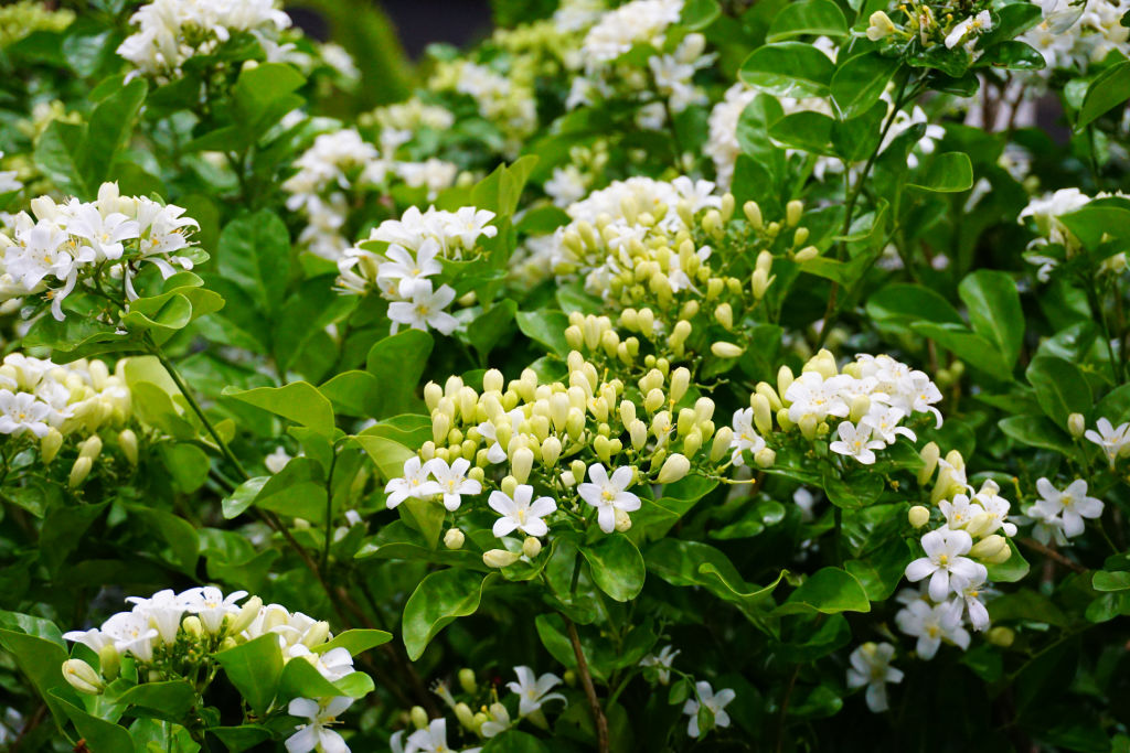 Murraya is commonly used as a flowering hedge.