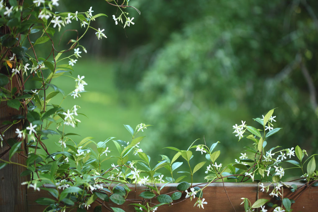 Star jasmine can be trained to grow as along fences.