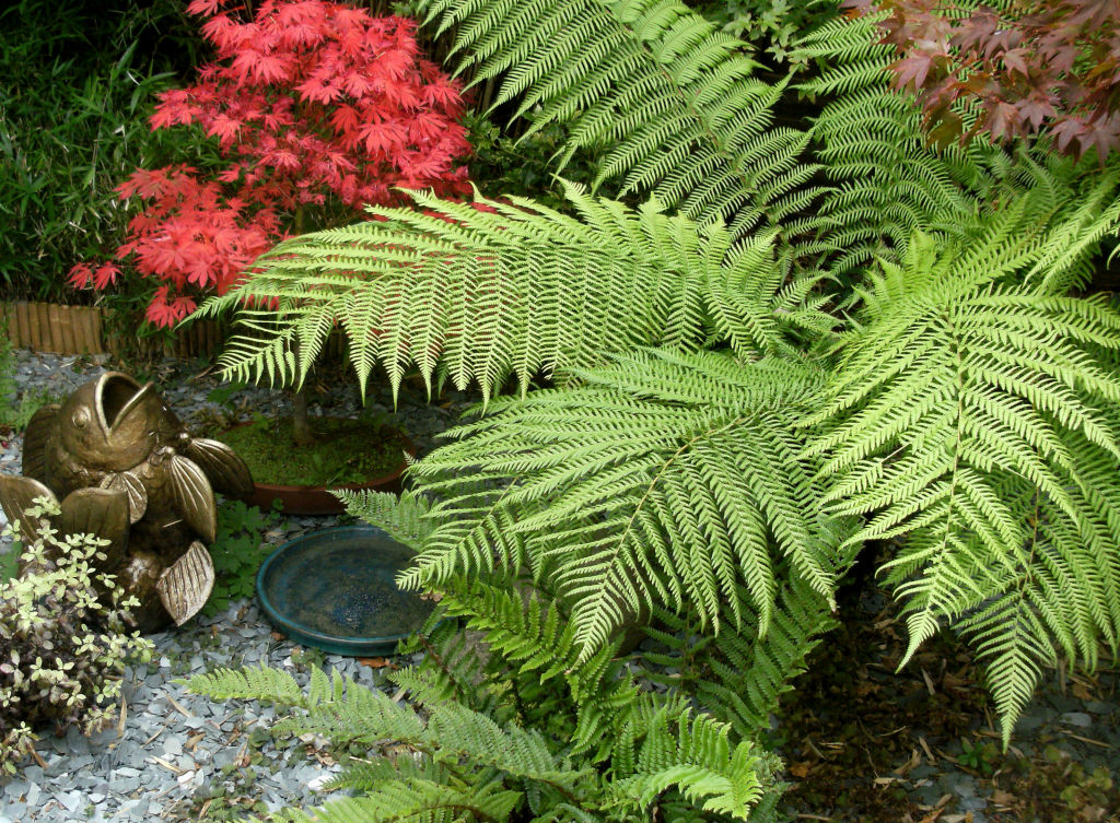 Tree ferns add a rainforest feel to gardens.