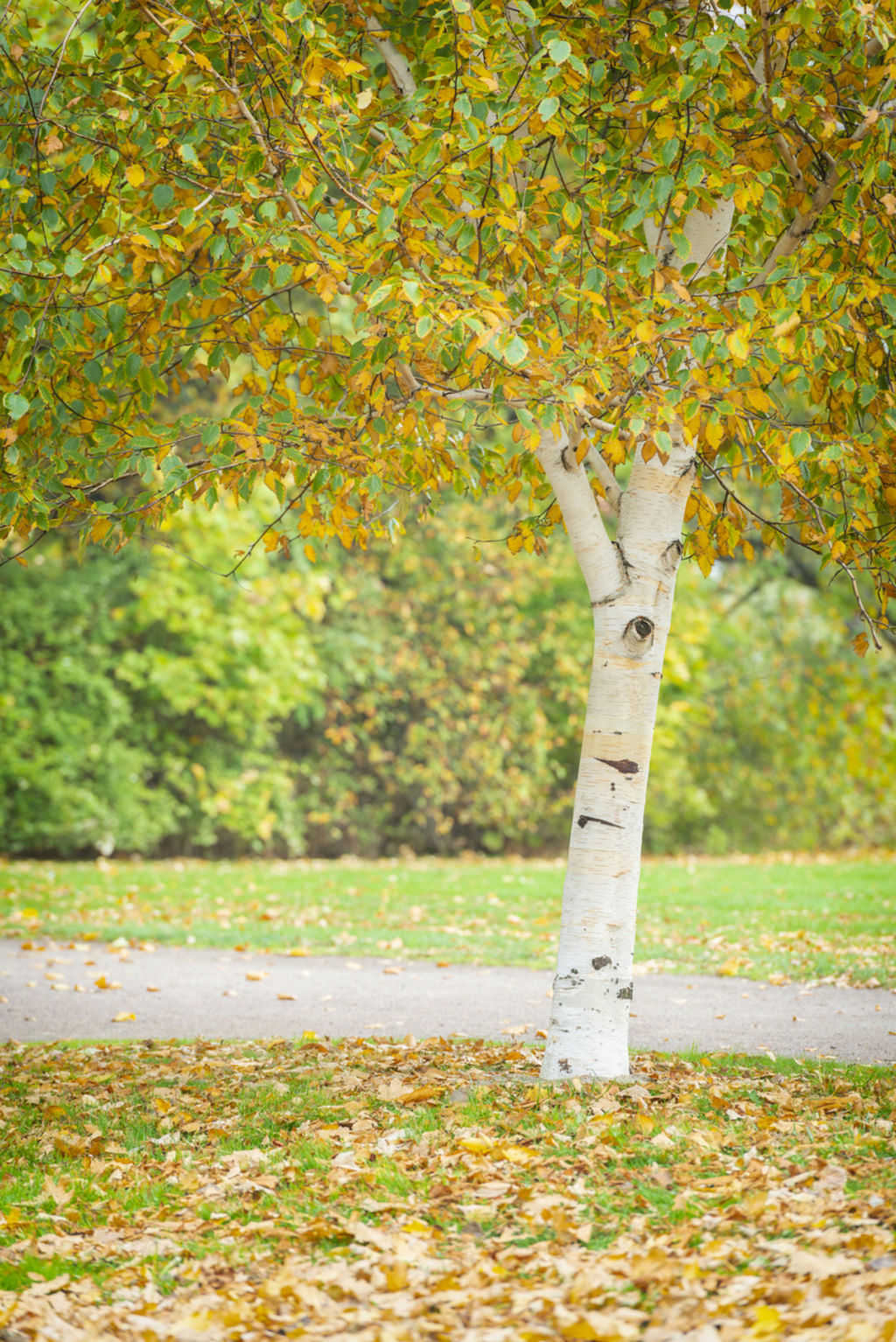 Birch trees work well as a single specimen or as a group.