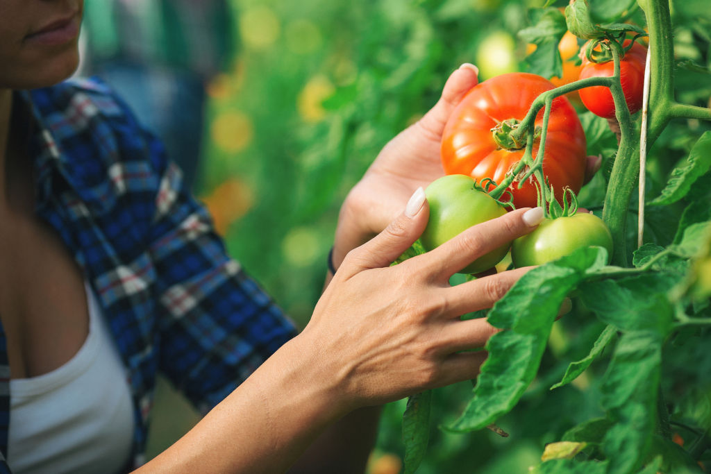 Tomatoes are one of the most popular crops for warm weather.