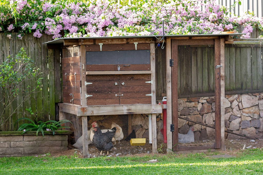 Backyard chicken coops can be bought from suppliers or homemade.