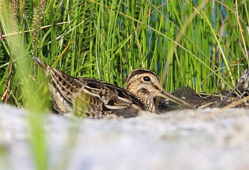 Latham_s_Snipe_Gallinago_hardwickii_wetlands_The_Cape_by_David_Hartney_qmpxgv