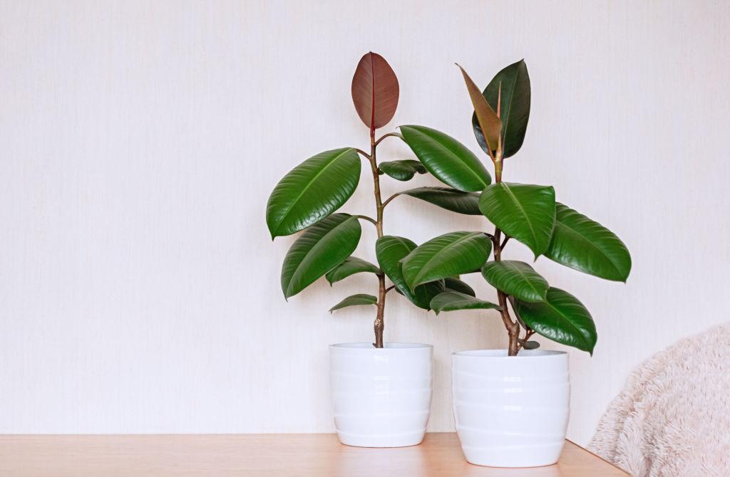 Ficus species like rubber plant are best kept in pots.