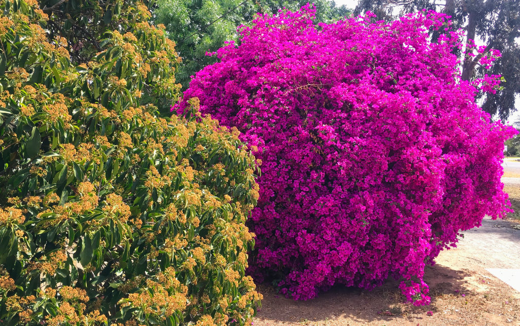 Vibrant bougainvillea plants can overwhelm fences with spiky vines.